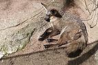 Otocyon megalotis (Renard à oreilles de chauve-souris) - 386.jpg
