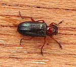 Oulema spec. (Chrysomelidae).jpg