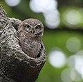Owl in botanical garden 4428n.jpg