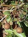 P.calleryana-fruit-1.jpg