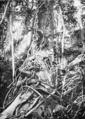 PSM V65 D481 Rubber vine in western mindoro.png
