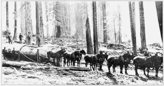 PSM V73 D182 Big tree logging in millwood california.png