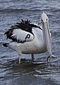 P for Pelican at Shorncliffe-2 (6510262729).jpg