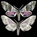 Pachysphinx modesta MHNT CUT 2010 0 119 Wakefield, Quebec Canada male.jpg