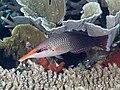 Pacific bird wrasse female (Gomphosus varius) (46387007714).jpg