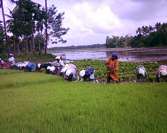 Migrant labourers in Kerala - Migrant workers find work in paddy fields