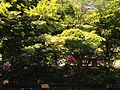 Paeonia suffruticosa near Fudo Shrine (No.3 of Okunomiya 8 Shrines) in Miyajidake Shrine.JPG