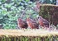 Painted bush quail IMG 6239.jpg