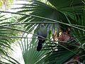 Pajaro tropical en el oceanario de Lisboa (105975268).jpg
