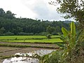Palawan, Philippines, Rice fields in the middle of Palawan Island.jpg