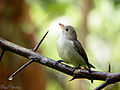Pale-billed Flowerpecker.JPG