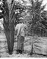 Palmier à huile ordinaire et palmier-fétiche.jpg
