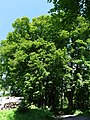 Palvinov, památné stromy 01.jpg