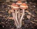 Panaeolus cinctulus (Bolton) Britzelm 447936.jpg