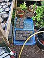 Pancratium maritimum seedlings - Flickr - peganum (3).jpg