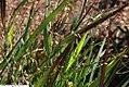 Panicum virgatum Shenandoah 14zz.jpg