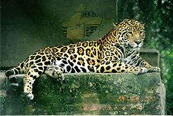 Il riposo del giaguaro