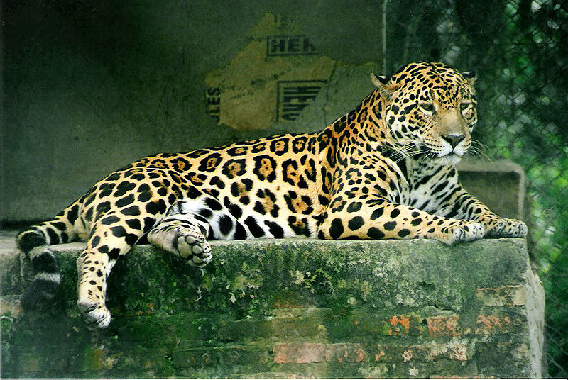 http://upload.wikimedia.org/wikipedia/commons/thumb/7/70/Panthera_onca.jpg/800px-Panthera_onca.jpg
