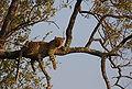Panthera pardus KrugerNP.JPG