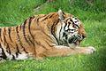 Panthera tigris at the Bronx Zoo 007.jpg
