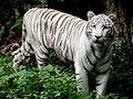Panthera tigris tigris albino.jpg