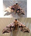 Papillons NOCTURNE sphinx demi-paon.jpg
