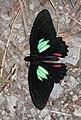 Parides sesostris zestos (Papilionidae) (25532758271).jpg