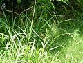 Paspalum conjugatum ogswrssmhy10.jpg