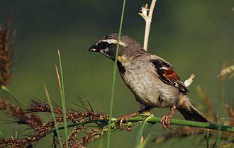 Dead Sea sparrow - Image: Passer moabiticus