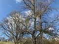 Paysage sur les coteaux au dessus de Pamiers, deux chênes.jpg