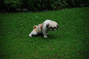 Housebreaking - A dog trained to urinate outdoors rather than in its human owners' house