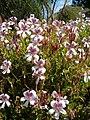 Pelargonium betulinum KirstenboschBotGard09292010A.JPG