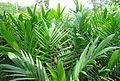 Pembibitan kelapa sawit (22).JPG