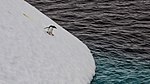 Penguin Skiing Downhill - panoramio.jpg
