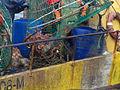Pesca de centolla en la Bahía Ushuaia 32.JPG