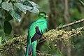 Pharomachrus mocinno Monteverde 04.jpg