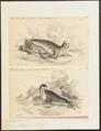 Phoca cristata - 1700-1880 - Print - Iconographia Zoologica - Special Collections University of Amsterdam - UBA01 IZ21100141.tif