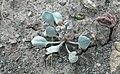 Physaria acutifolia (sharpleaf twinpod) (Artists Point, Colorado National Monument, Colorado, USA) (23382544754).jpg