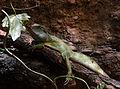 Physignatus cocincinus Basel Zoo 28102013 1.jpg