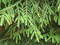 Picea orientalis1.jpg