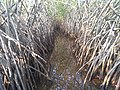 Pichavaram mangrove forest 2.jpg