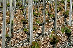Swiss wine - Chasselas vines growing in Valais.