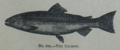 Picture Natural History - No 211 - The Salmon.png