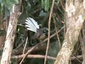 File:Pied Fantail 01.ogv