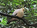 Pied Imperial-pigeon Ducula bicolor (6970038248).jpg