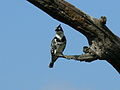 Pied Kingfisher (Ceryle rudis) -Kruger National Park -South Africa.jpg