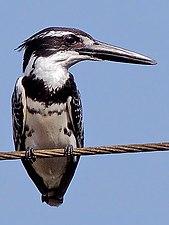 Pied Kingfisher (Ceryle rudis) Photograph By Shantanu Kuveskar.jpg