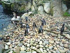 Bristol Zoo - Penguins at Bristol Zoo