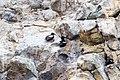 Pigeon guillemot (36477530586).jpg