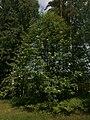 Pihlaja 2.6.2013 asikkala vääksy honkaperäntien metsä 1.jpg
